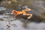 Frosch (2)