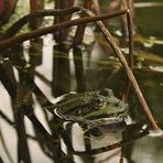 Frosch 2