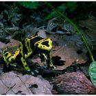 Frosch aus dem Tropischen Regenwald
