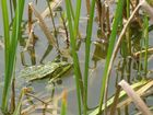 Frosch beim Sonnenbaden