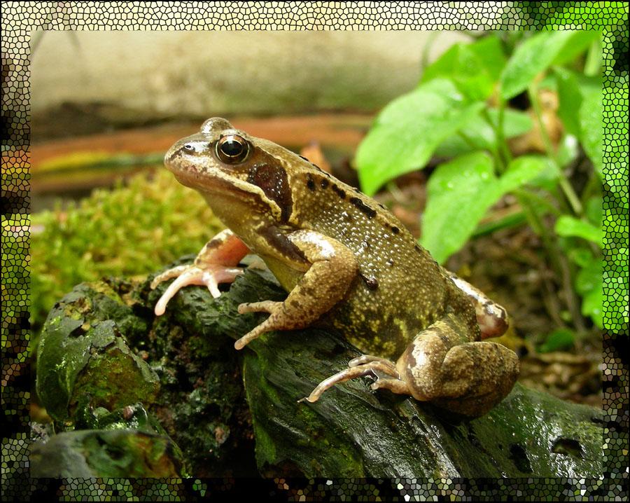 Frosch die dritte