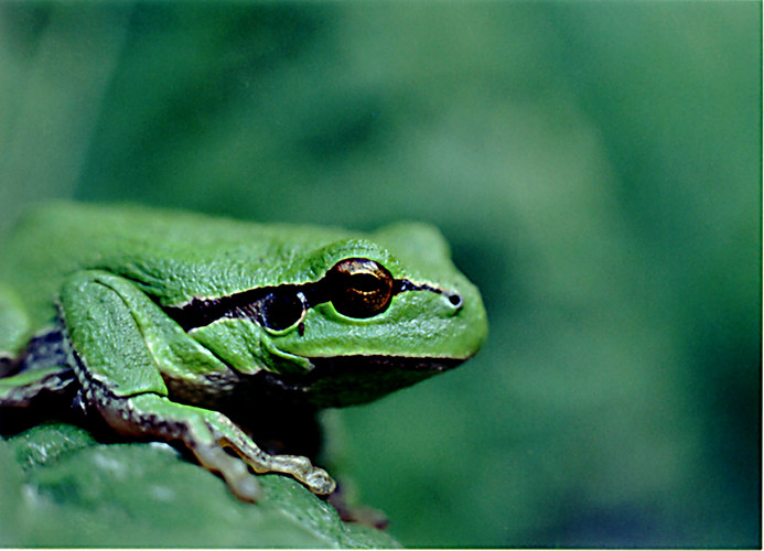 Frosch Ferdinand