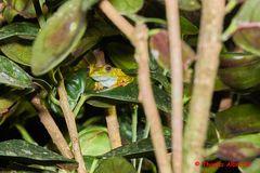 Frosch, Hypsiboas rosenbergi, Gladiator Tree Frog