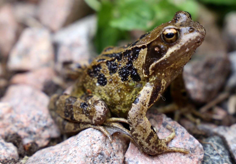 Frosch im Garten