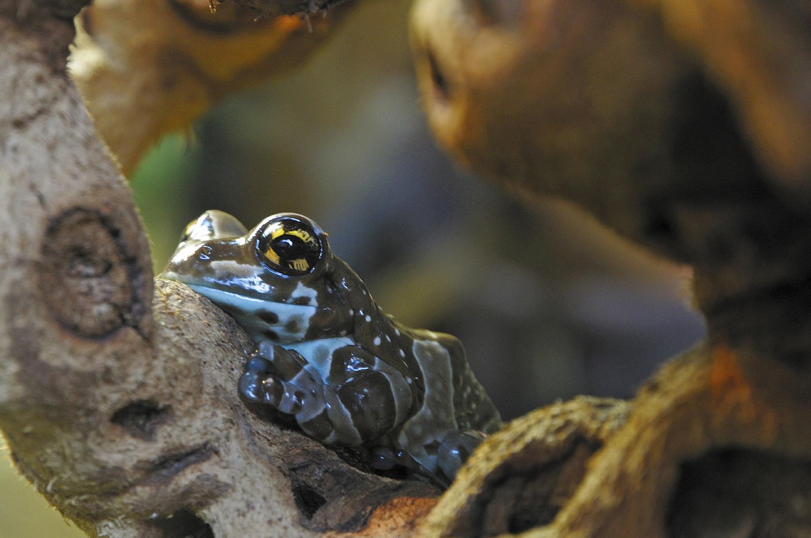 Frosch im Kölner Zoo....