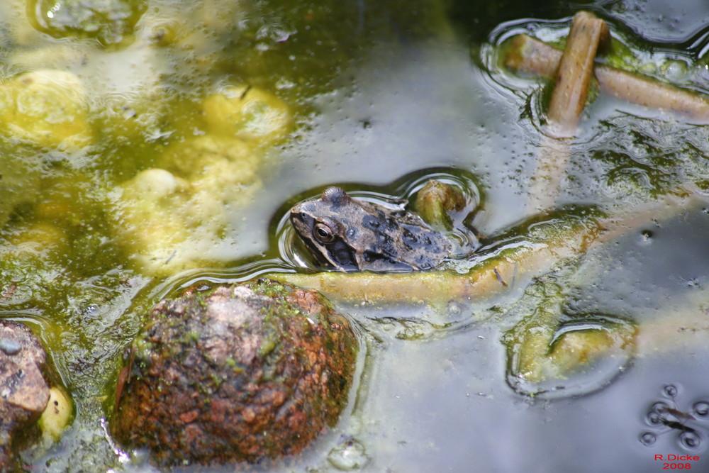 Frosch im Mai beim faulenzen