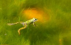 Frosch im Paradies...