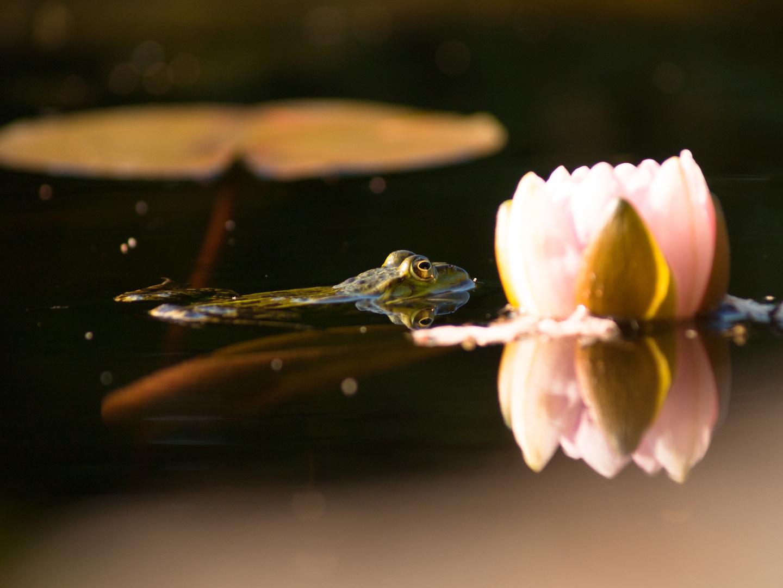 Frosch im Seerosen Teich