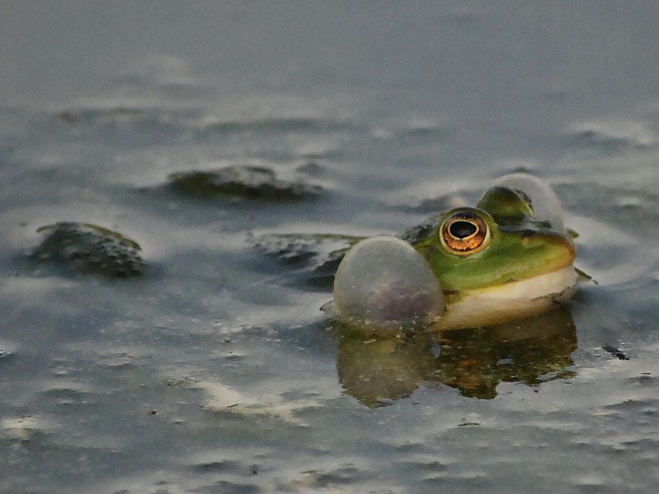 Frosch im Teich 2