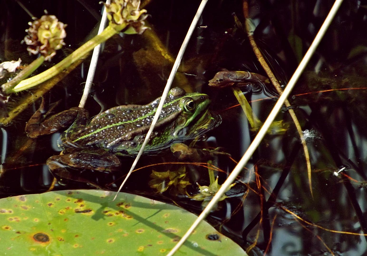 Frosch im Teich :)