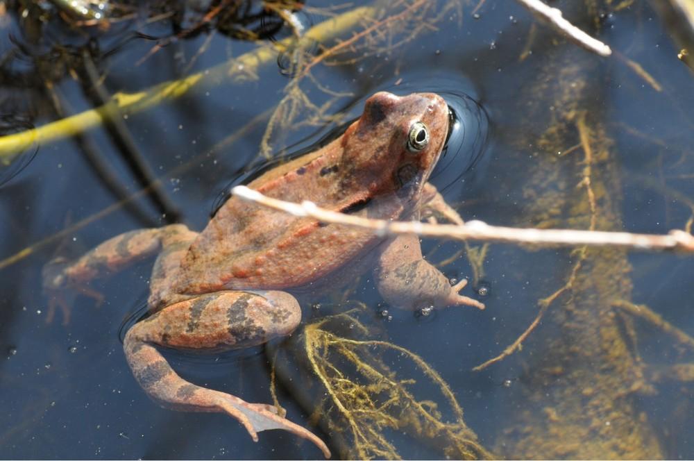 """Frosch im Wasser (""""Ich glaub mich sieht man nicht""""!)"""