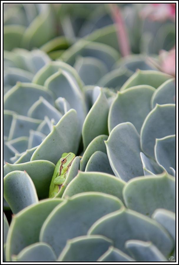 Frosch in Steinrose 1