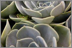 Frosch in Steinrose 2, Ein wunderbares Versteck