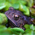Frosch? in Thailand