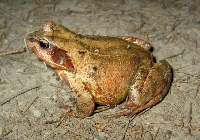 Frosch / Kröte???