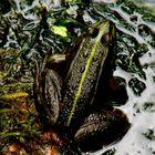 Frosch mit 420mm aufgenommen