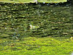 Frosch mit Libellen