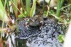 Frosch mit Nachwuchs