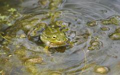 Frosch mit Schlotze