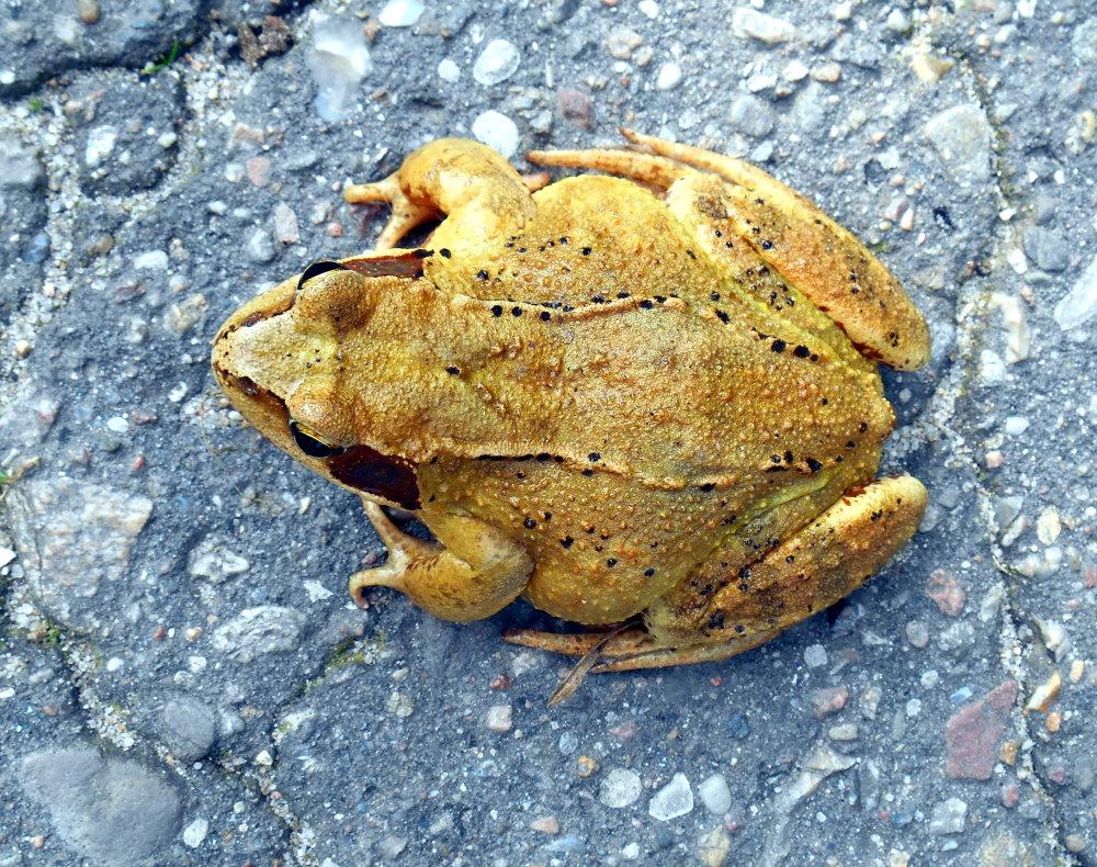 Frosch oder Unke ?