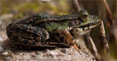 Frosch trifft Mücke :-)