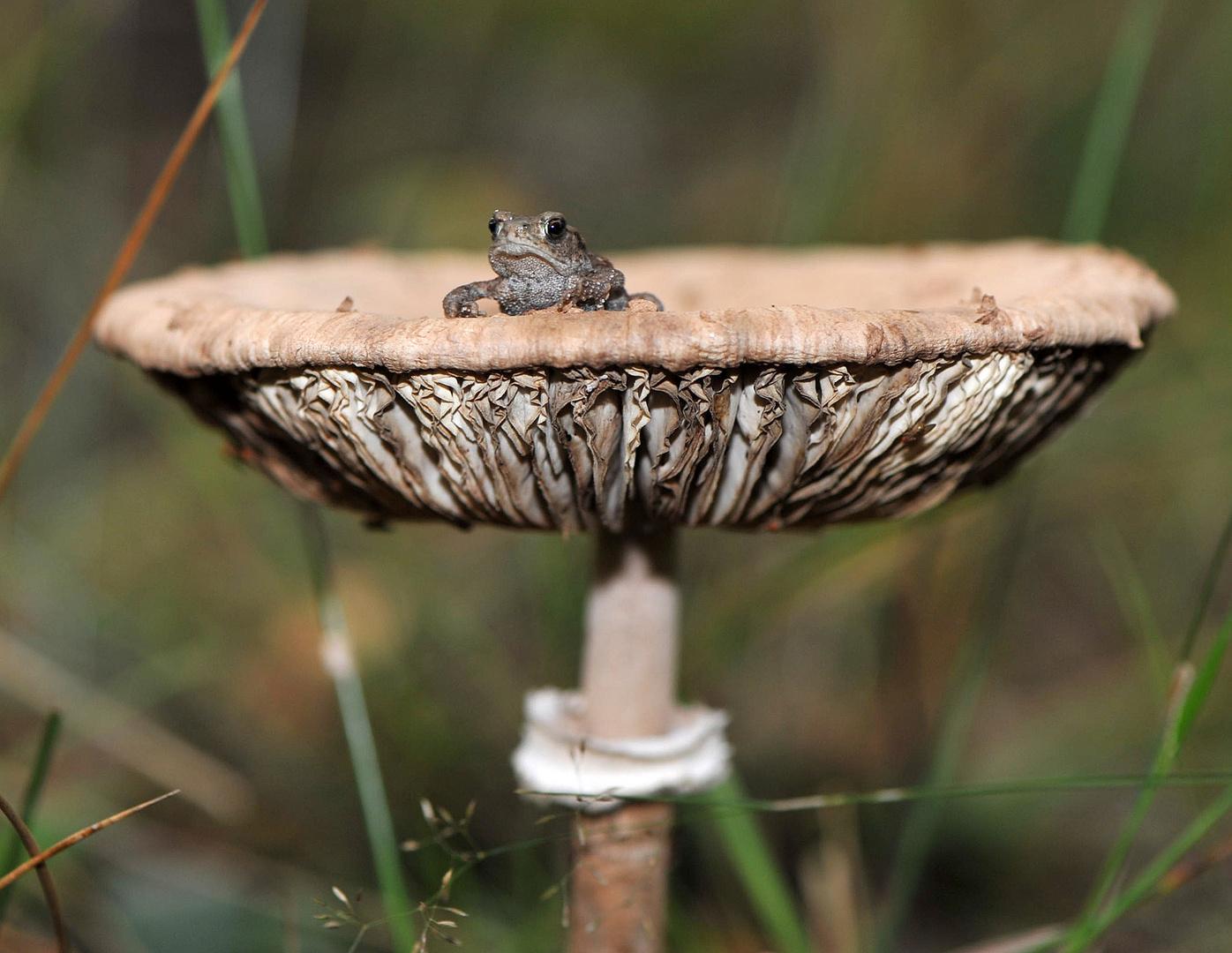 Frosch und Pilz