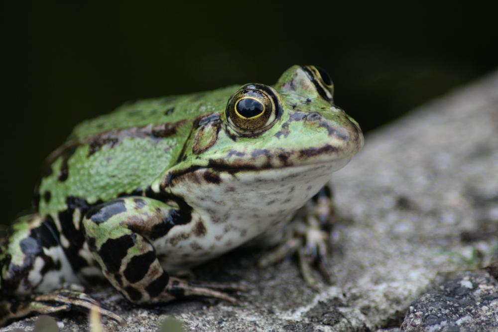 Froschkönig im Uni-Garten Düsseldorf