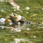Froschpaarung