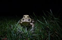 Froschwanderung...