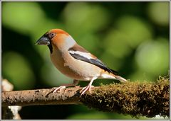Frosone - Coccothraustes coccothraustes