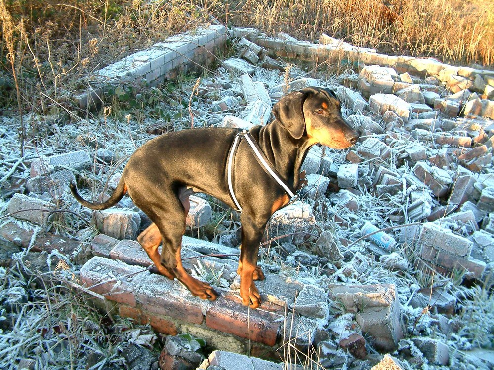 frost and the dobermann puppy