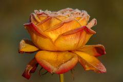 Frost-Rose V