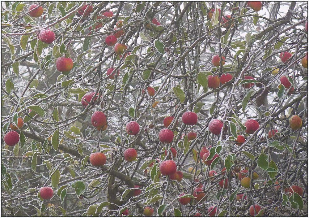 frost.äpfel...