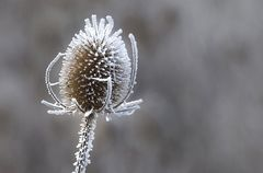 Frosted Thistle.