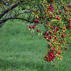 Frostige Äpfel, Frosty apples,  Manzanas heladas,
