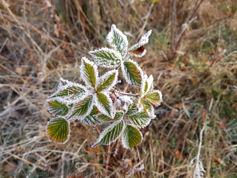 frostige Pflanze