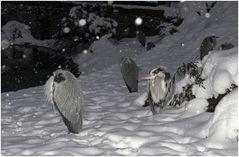 Frostige Zeit für die Reiher