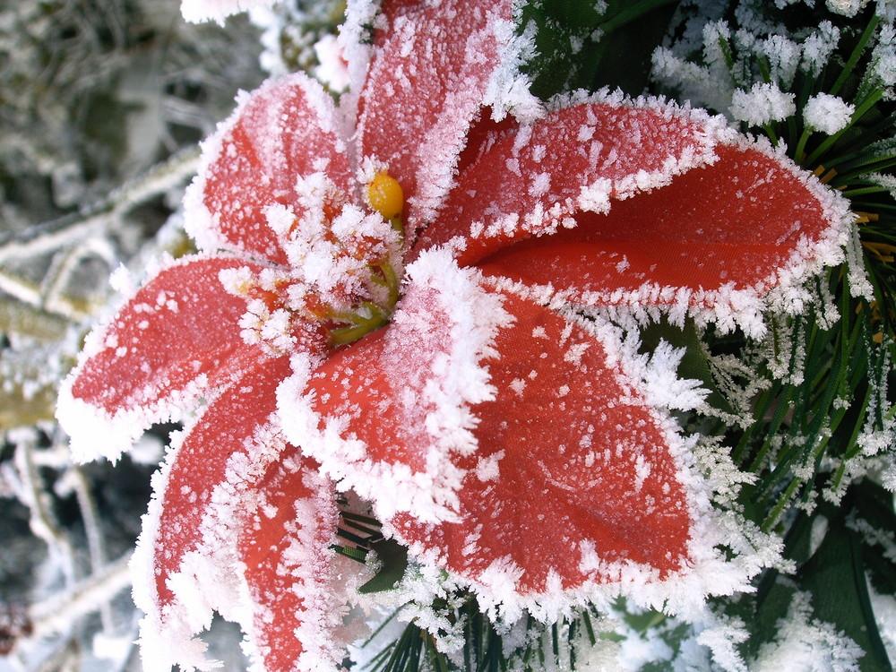 frostiger weihnachtsstern foto bild pflanzen pilze. Black Bedroom Furniture Sets. Home Design Ideas
