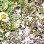 Frostiges Gänseblümchen