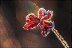 Frostiges Herzblatt