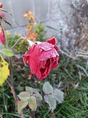 Frostiges Mittwochsblümchen