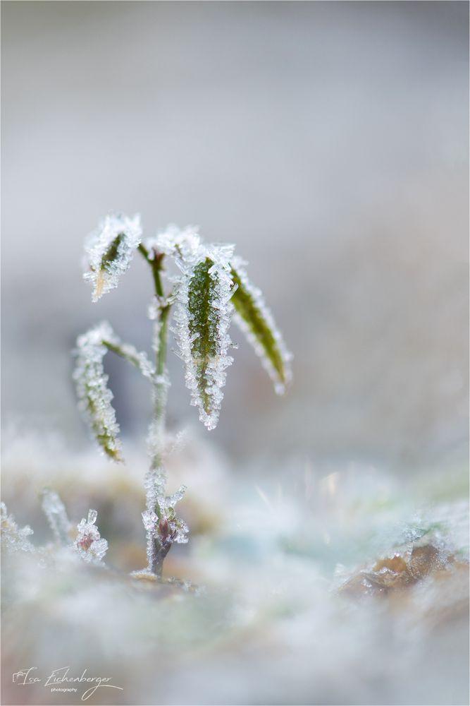 Frostpalme
