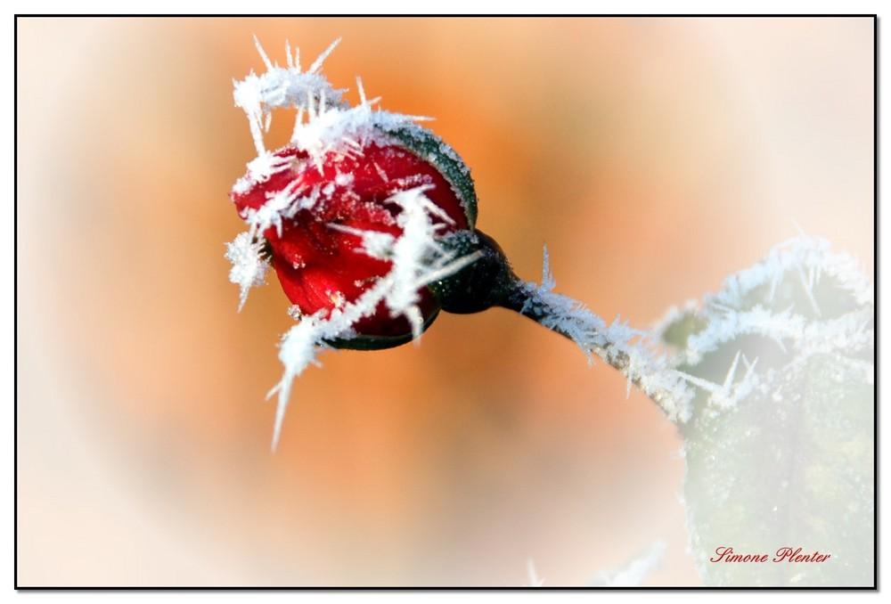Froströslein