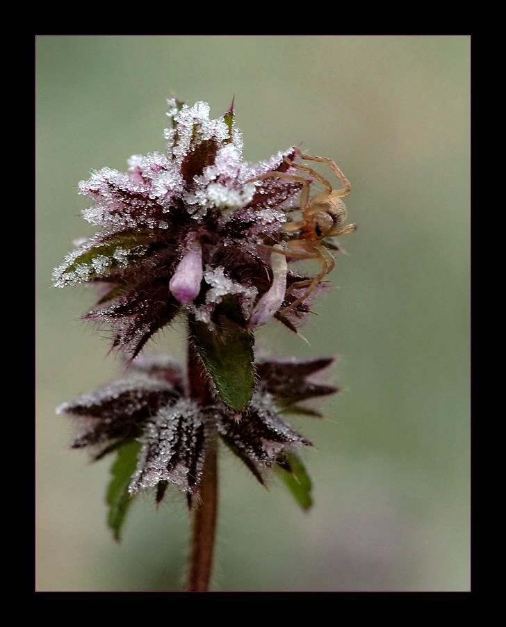 Frostspinne