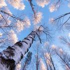 Frosty Birches .