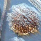 frosty morning sunflower