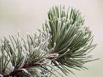 < frozen pine >