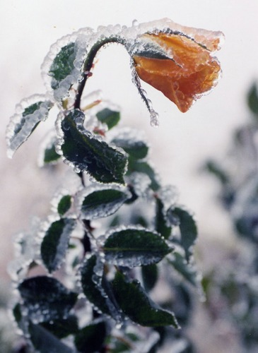Frozen rose after an ice storm