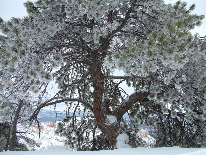 Frozen Tree - Bryce National Park