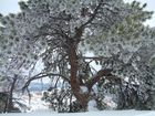 Frozen Tree - Bryce National Park